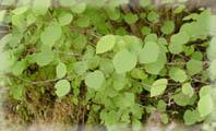 兎和野の大カツラの葉